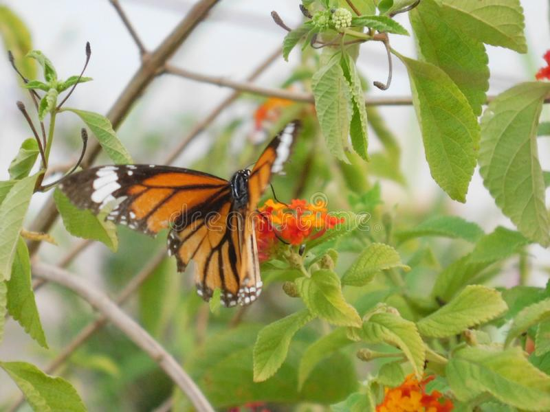 A Beautiful Photograph of a butterfly on a flower. royalty free stock images
