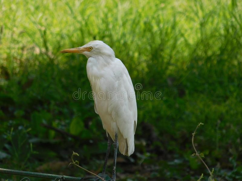 A Beautiful Photograph of a white egret bird. royalty free stock photography