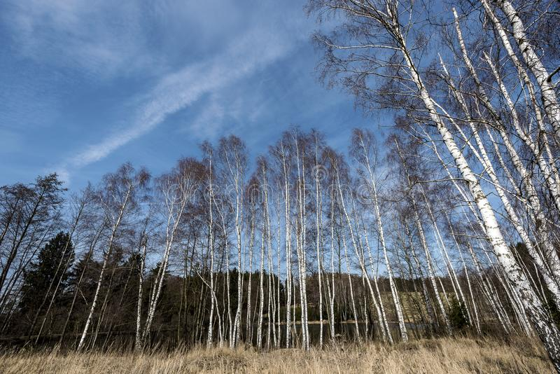 High slender birches blazing into the blue sky. In the Moravian Highlands royalty free stock photos
