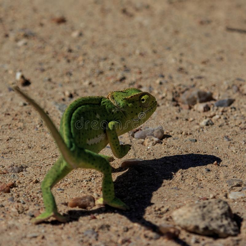 A high-tailing chameleon. A Flap-necked Chameleon slowly, but hastily, moves away, keeping one eye on the perceived threat stock image