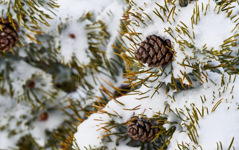 High Tatra pine plant detail in winter. High Tatra plant detail in Slovakia stock images