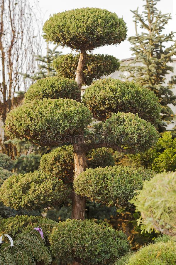 High Taxus evergreen coniferous topiary tree royalty free stock photo