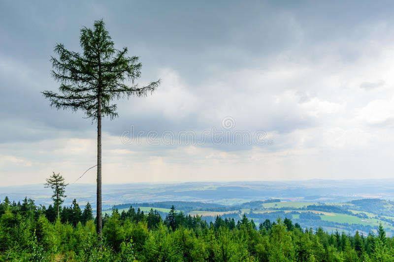 High tree rising above the others in forest. The tall coniferous tree rises above the others in the forest. In the background is beatufitul country. Dramatic royalty free stock photo