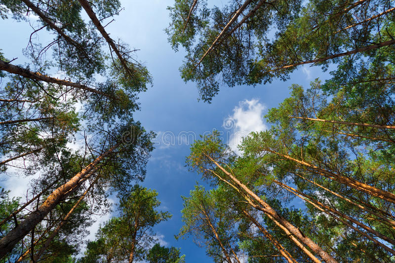 High trees in the forest royalty free stock photo