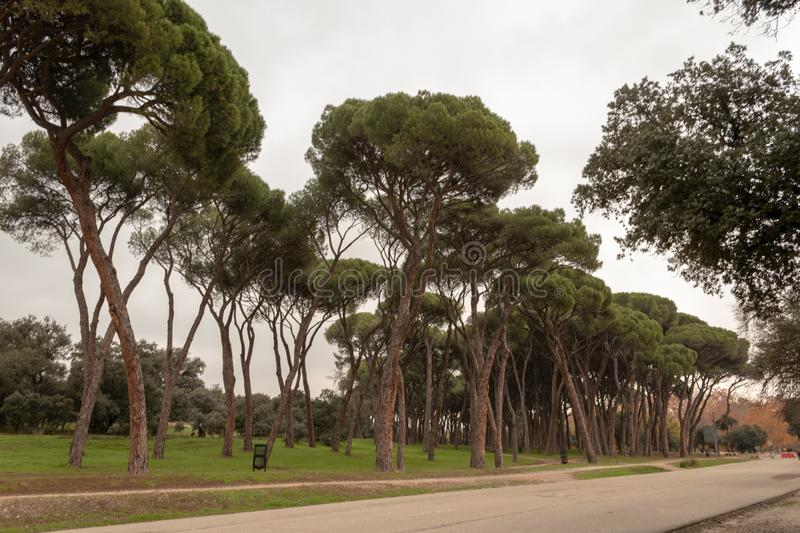 High trees in a park. Photo of high trees in a park of Madrid stock photo