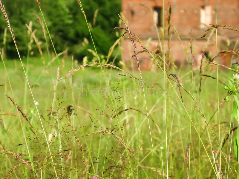 High uncut grass in a meadow grows royalty free stock photo