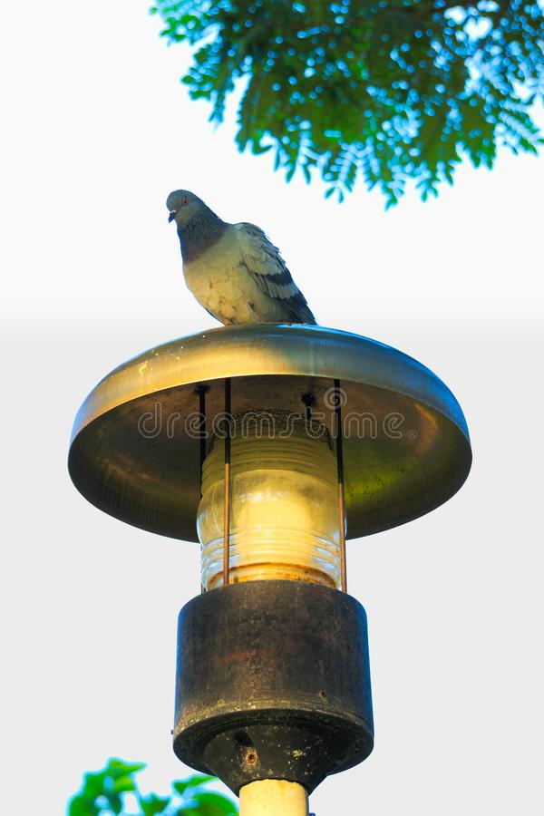 High up above a stainless steel lamp post, a common pigeon has perched, with a full view of the lush park surroundings. stock image