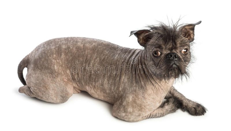 High view of a Hairless Mixed-breed dog, mix between a French bulldog and a Chinese crested dog, lying and looking at the camera. In front of white background stock image