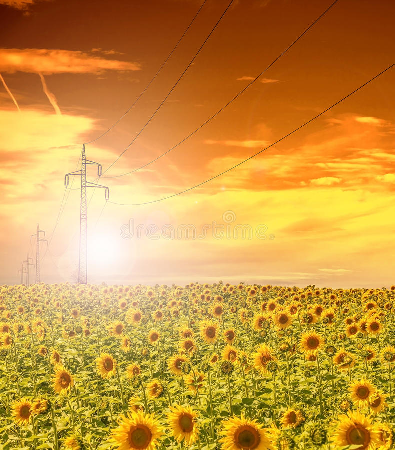 Download High-voltage Power Line Masts In The Field Of Sunflowers,sunset Sky Stock Photo - Image: 83707674