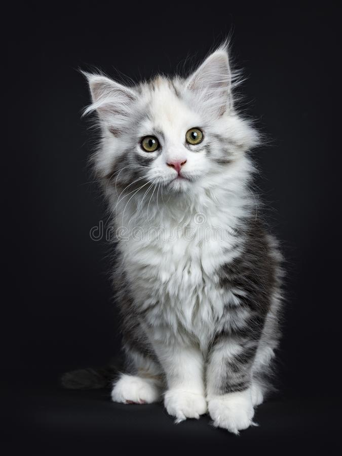 High white tortie Maine Coon girl kitten. With attitude sitting up looking very curious in lens isolated on black background royalty free stock photography
