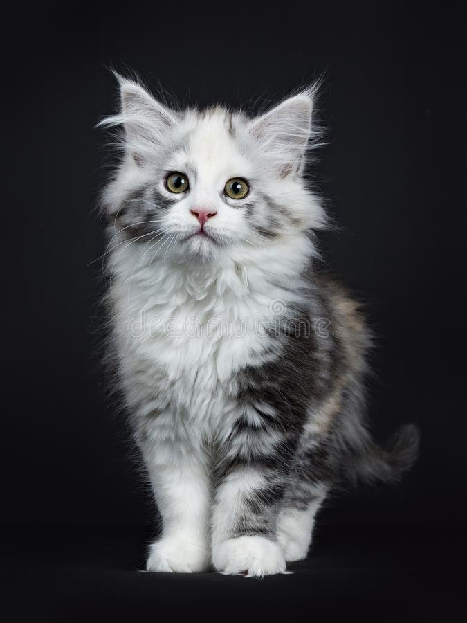High white tortie Maine Coon girl kitten. With attitude standing facing camera isolated on black background stock image