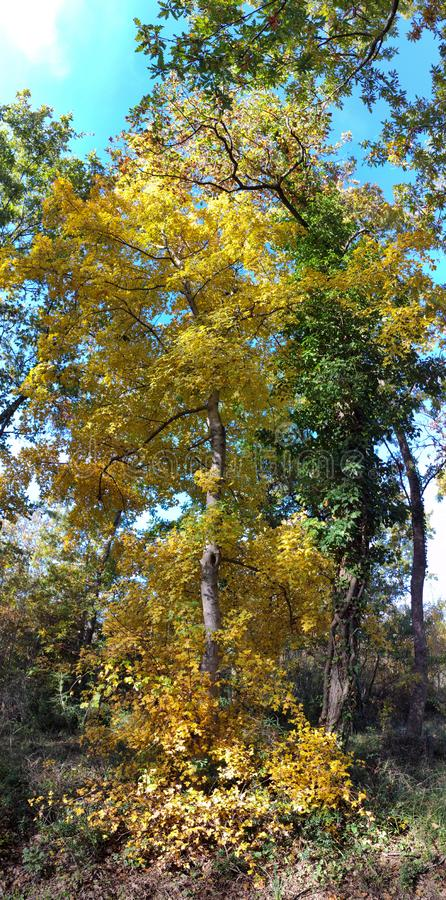 High yellow autumn tree in the middle of the woods good for postcards and backgrounds. High yellow autumn tree in the middle of the woods good for postcards and royalty free stock photos