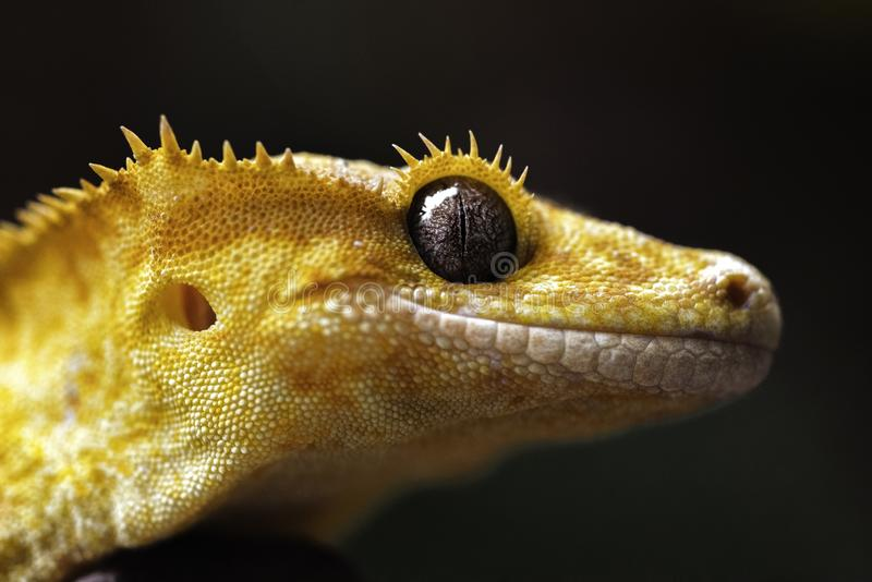 High Yellow Female Crested gecko. Macro Portrait of a high yellow  female crested gecko, her name is Nova, and she was shot with a nikon D810 and 60mm Macro lens royalty free stock images