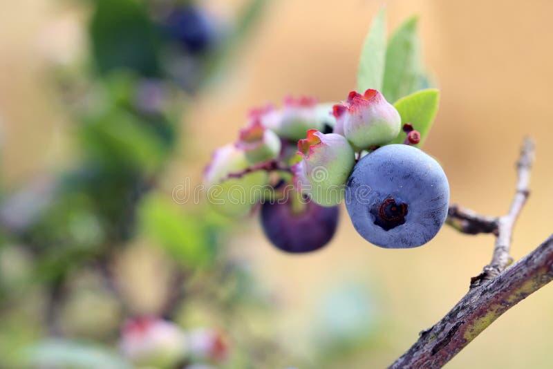 Highbush-Blaubeere, sehr geschmackvolle Beere enthält viele Vitamine stockfotografie