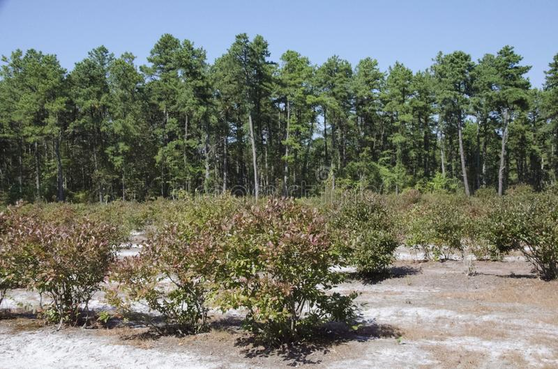 Blueberry Field royalty free stock images