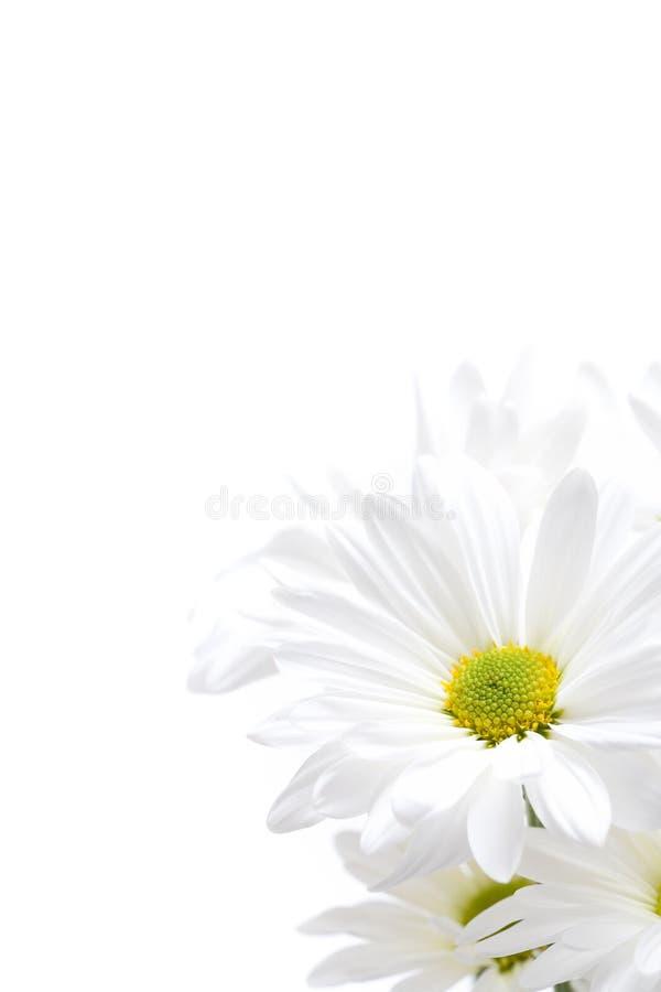 Highkey de marguerites blanches photos stock
