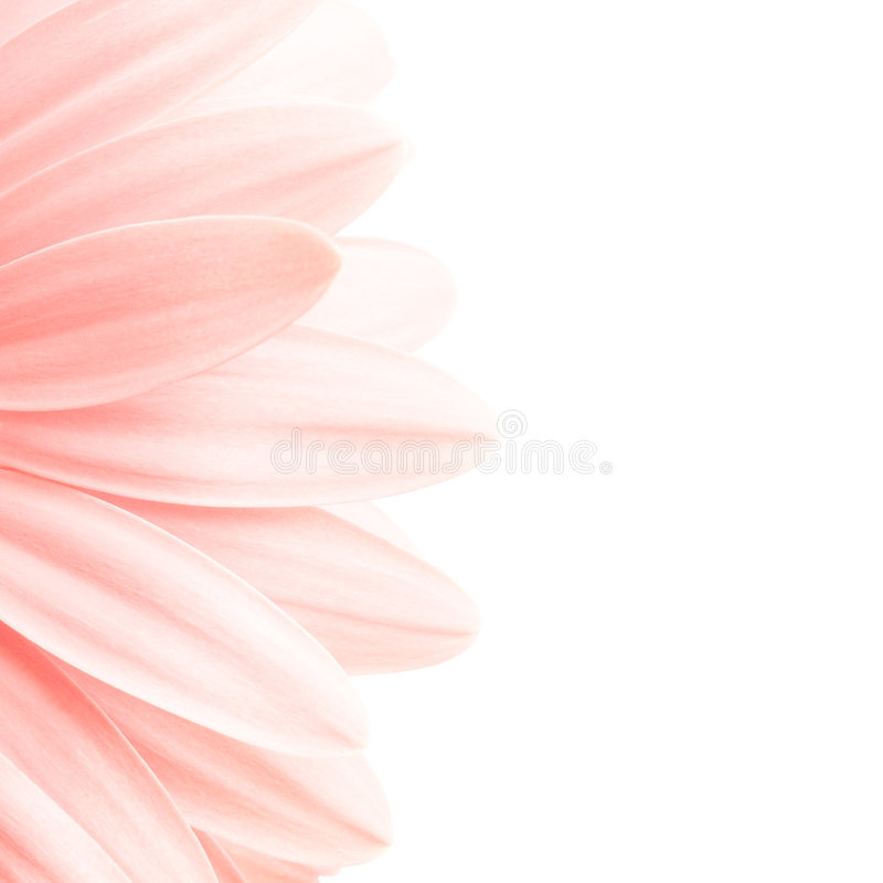 highkey płatków róż obraz royalty free
