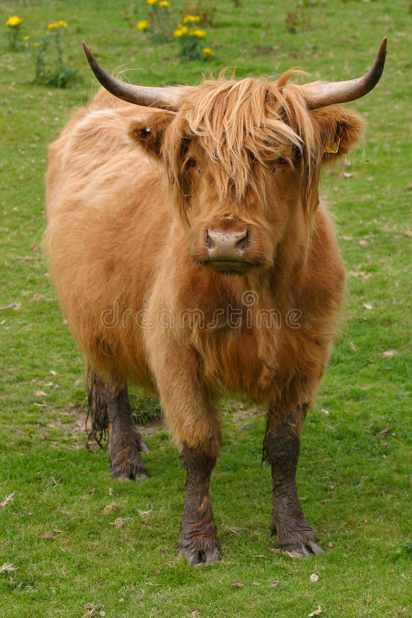 Highland aberdeen angus cow grazing green grass royalty free stock photography