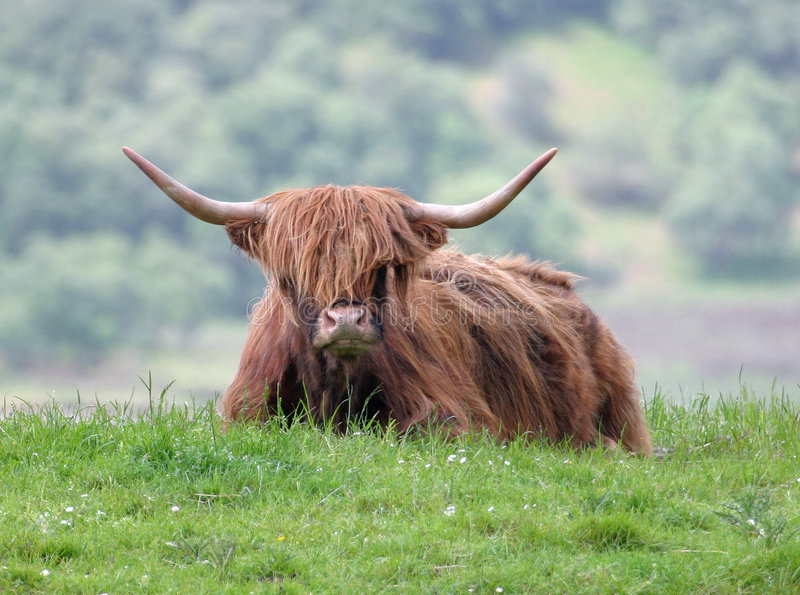 Download Highland Bull stock image. Image of field, aberdeen, cattle - 48235