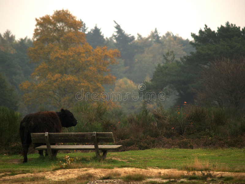 Highland bulls. In an autumn landscape stock photography