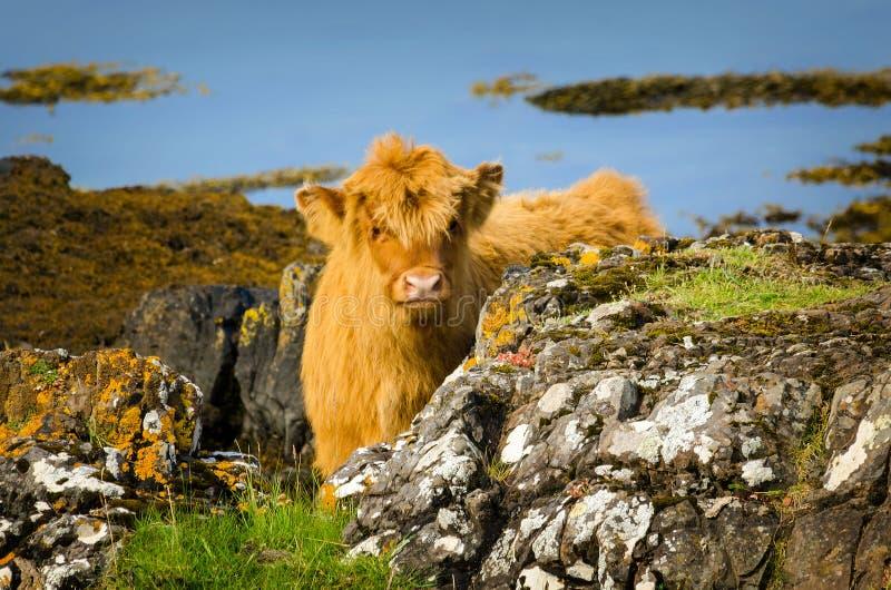 Highland Calf stock image
