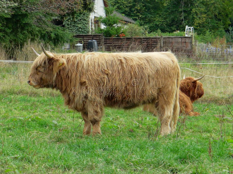 Highland calves royalty free stock images