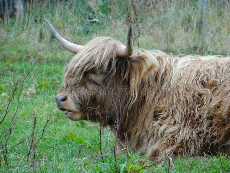 Highland calves royalty free stock photos