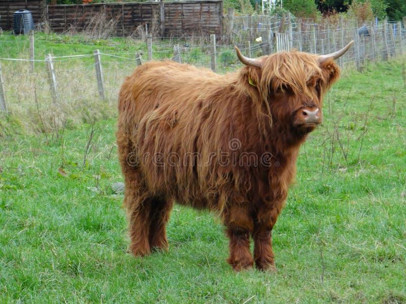 Highland calves stock photos