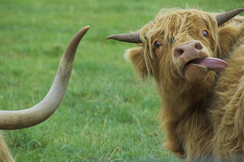 Highland cattle. In field stock images
