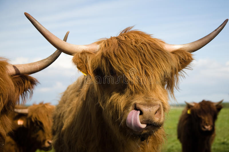 Highland Cattle. A fold of Highland Cattle royalty free stock image