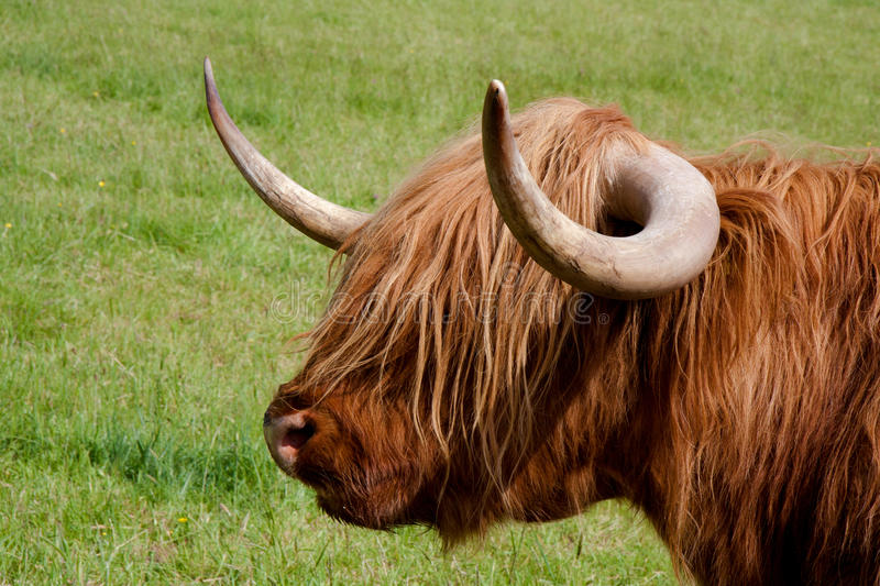 Download Highland cattle stock photo. Image of horns, cattle, brown - 16594636