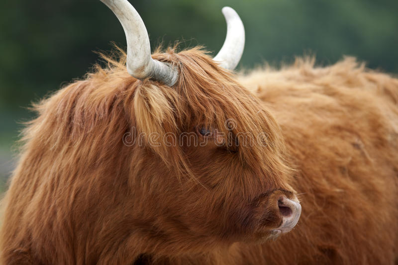 Highland Cattle. A close up shot of a Scottish Highland Cattle stock image