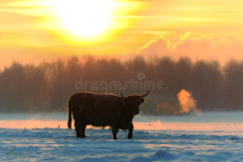 Download Highland cattle stock photo. Image of cattle, color, habitat - 22349600