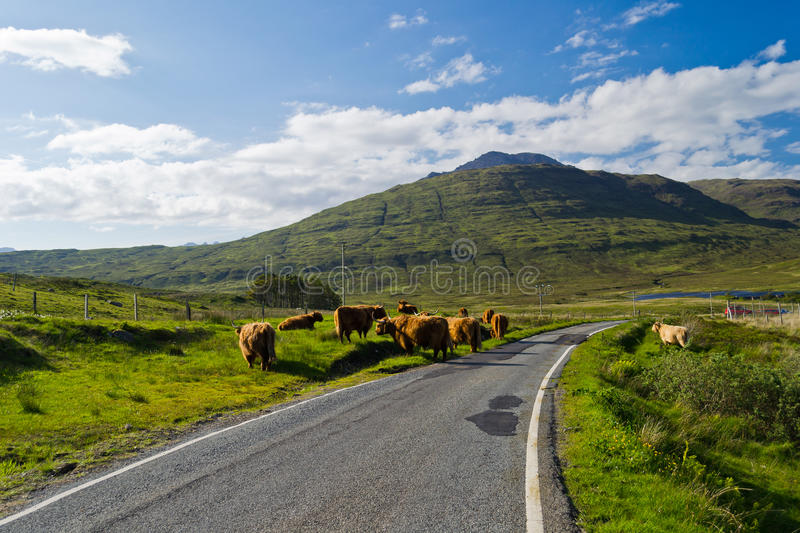 Highland Cattle. On the road on Isle of Skye, Scotland royalty free stock images