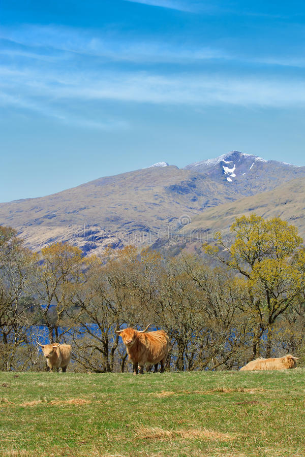 Download Highland Cattle Royalty Free Stock Photos - Image: 25858248