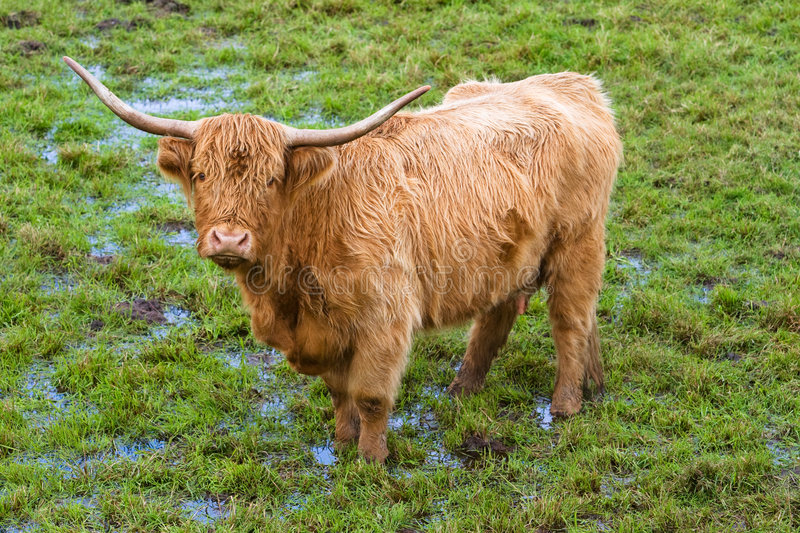 Highland cattle. Portrait of a highland cattle in a scottish field stock photos