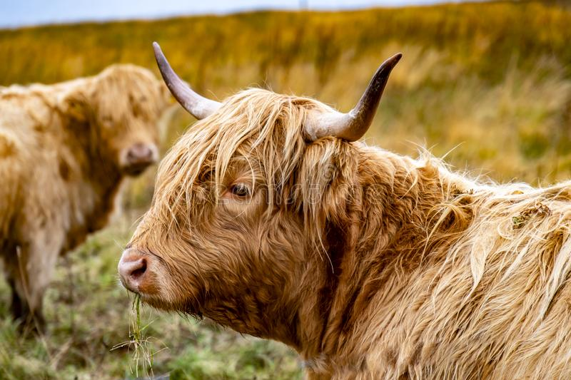 Highland cattle - Bo Ghaidhealach -Heilan coo - a Scottish cattle breed with characteristic long horns and long wavy. Highland cattle ,Bo Ghaidhealach Heilan coo stock image