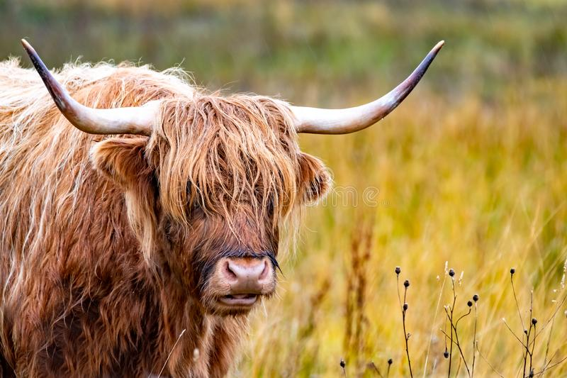 Highland cattle - Bo Ghaidhealach -Heilan coo - a Scottish cattle breed with characteristic long horns and long wavy. Highland cattle ,Bo Ghaidhealach Heilan coo stock images