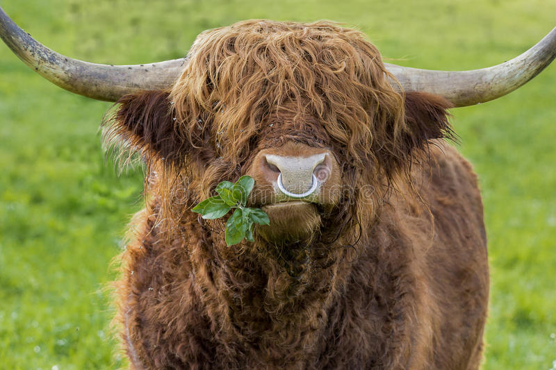 Highland cattle bull chewing leaves. Unfiltered version of leaves chewing highland cattle bull with iron nose ring on a green meadow. A branch with some leaves stock photos