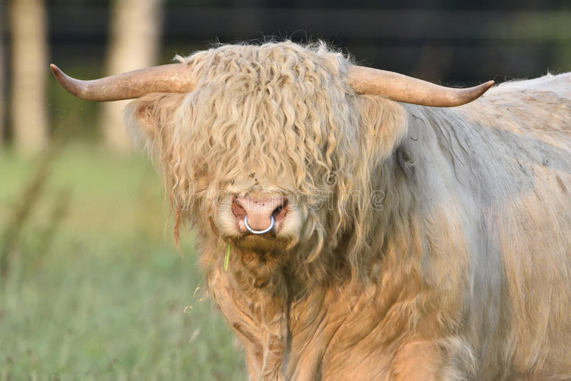 Highland cattle. Bull of Highland Cattle on a meadow royalty free stock photography