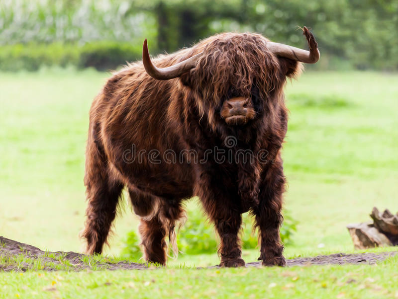 Highland cattle bull. Woody Highland cattle bull on grassland royalty free stock photo