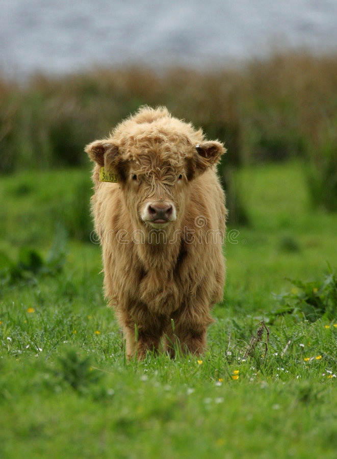 Highland Cattle Calf. In meadow with buttercups, selective focus royalty free stock photos