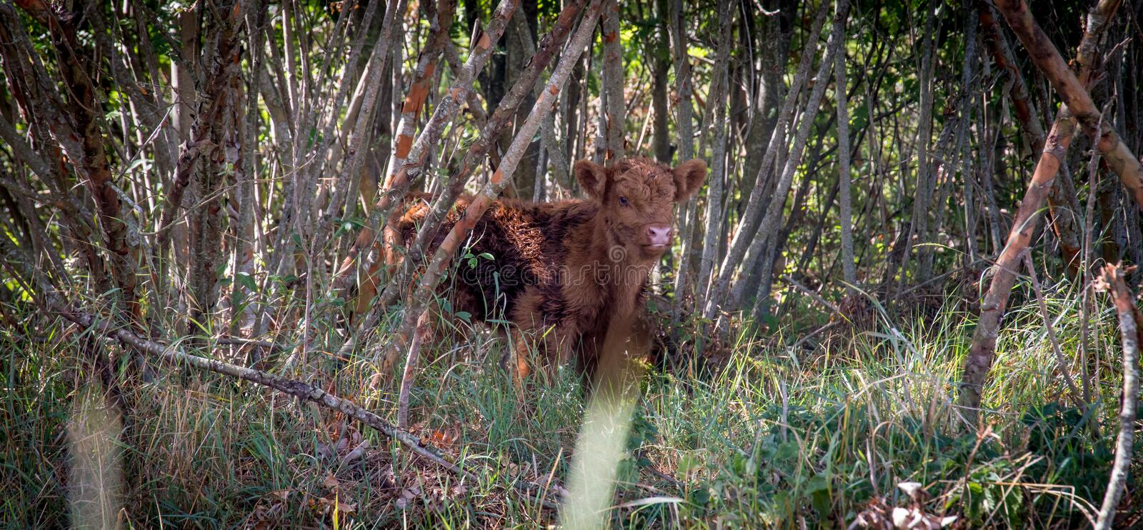 Highland cattle calf in forest peeking royalty free stock image