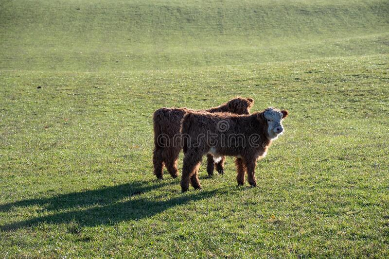 Highland cattle calves in a field stock photo