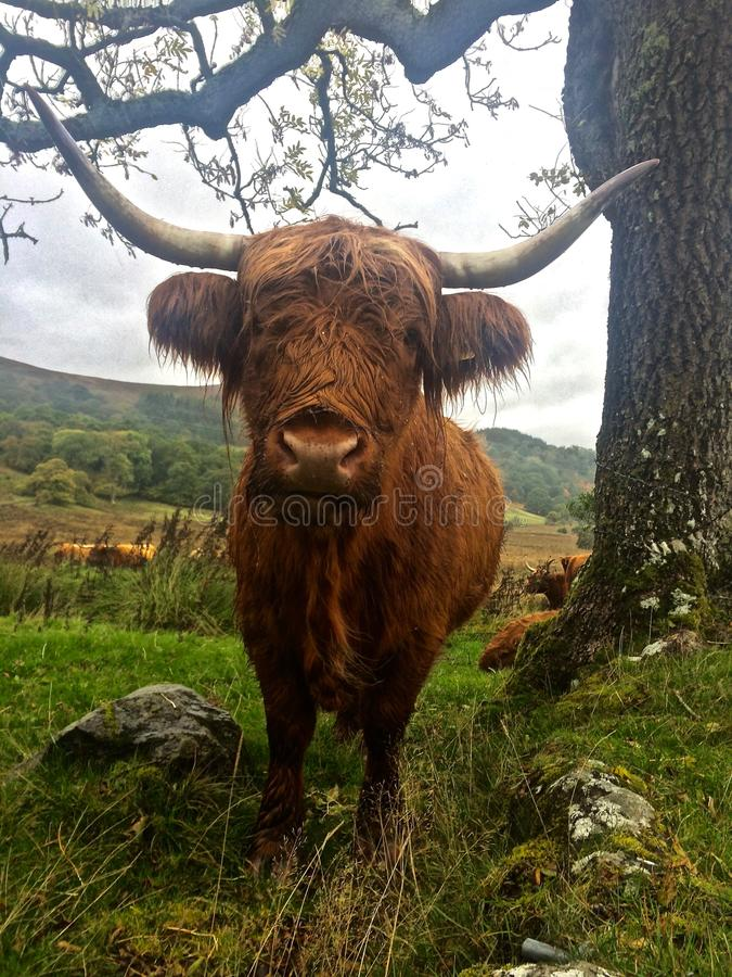 Highland Cattle. / Cow Standing at Attention Closeup, Scotland, UK royalty free stock photos