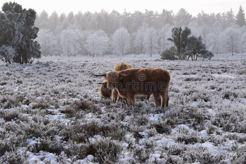 Highland cattle. On the Dutch snowy heath stock photography