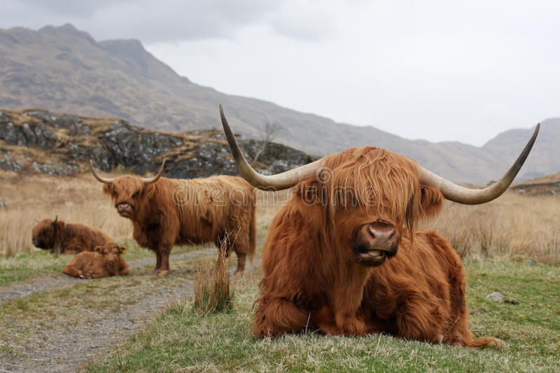 Highland Cattle Family. A family of highland cattle sit by a track in a remote Scottish glen on the Knoydart peninsula stock photos