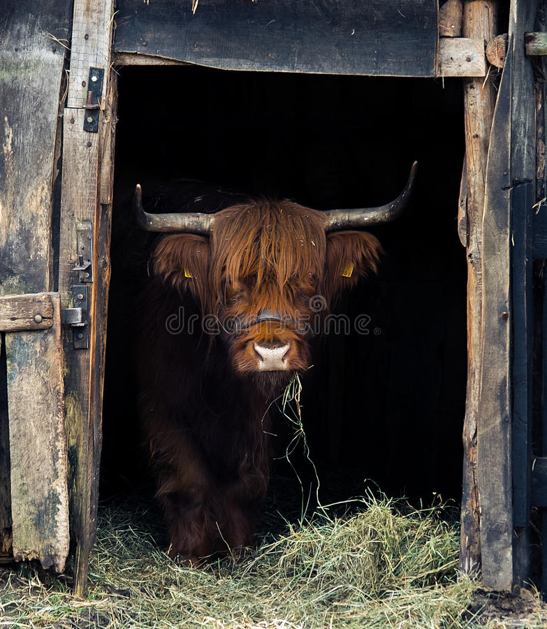 Highland Cattle. Highland cattle at front, mammal stock photos