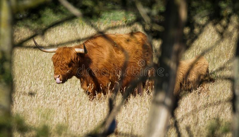 Highland cattle. Go out on the meadow, made in Denmark royalty free stock photography