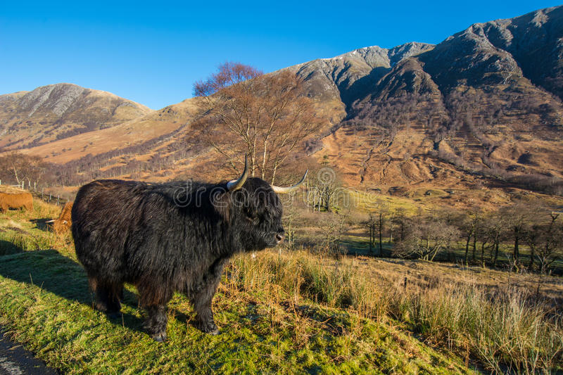 Highland cattle. Grazing in the mountains royalty free stock image
